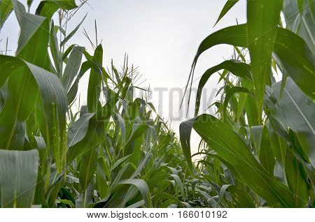 Image of mature corn crop from within the rows and looking up to the sky