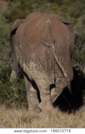 Single African elephant standing in bushland in South Africa