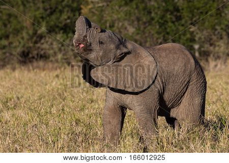 Tiny African elephant calf in its natural surroundings in South African bush