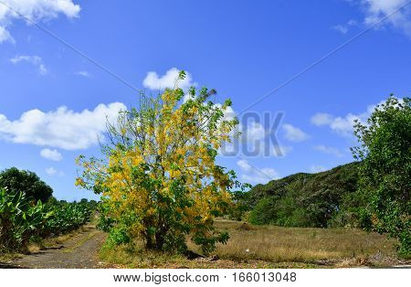 Cassia Fistula Flowers At The Sunny Day