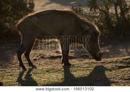 Single warthog male backlit by evening sunlight in South Africa