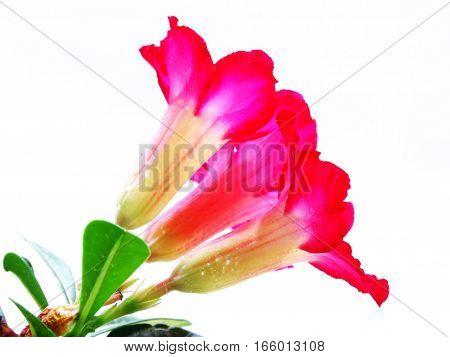 adenium obesum on white background red desert flower