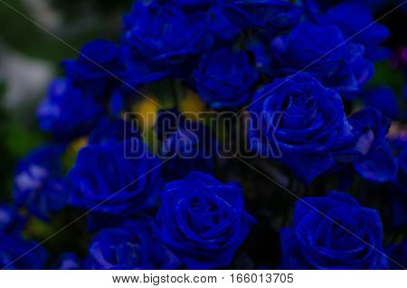 Dark Blue Rose Flower Flora Dark tone. Can use for Background Texture or Wallpaper