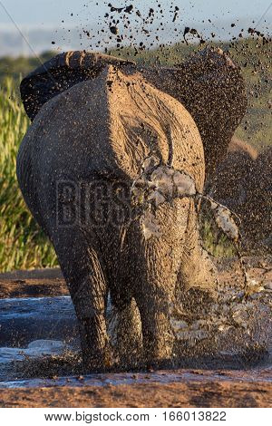 African elephant splashes muddy water all around, South Africa