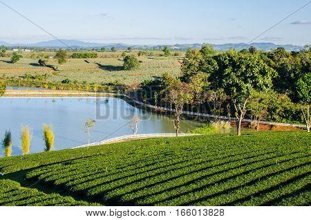 Landscape of Tea Farm at Chiang Rai Thailand
