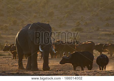 African buffalo walking in front of an elephant, South Africa