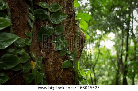 tropical plant in jungle on Koh Samui