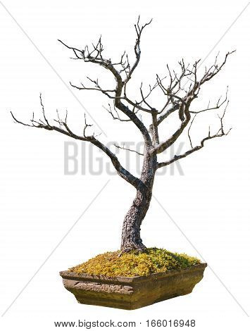 An old bonsai tree in a terra-cotta pot isolated on a white background with clipping paths easy for cut out the background.