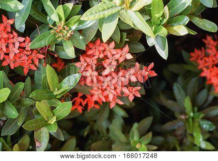 Red west Indian jasmine (Ixora flower) in garden with selective focus