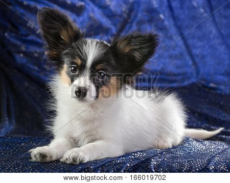 Cute puppy of the Continental Toy spaniel on a blue background