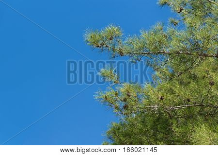 Evergreen tree, Crimean Pine, or Pine of Pallas (lat. Pinus nigra subsp. pallasiana) on the background of blue sky