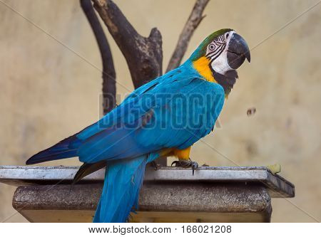 Blue yellow macaw bird eating food at a bird sanctuary in India.