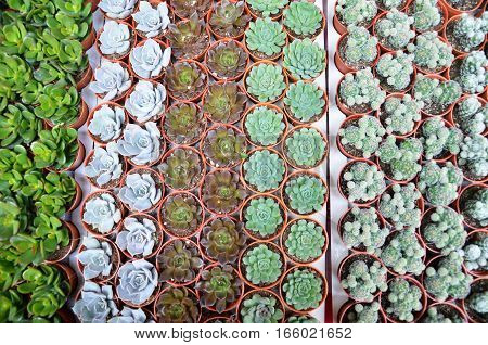 Group of small cactus in the pot for sell