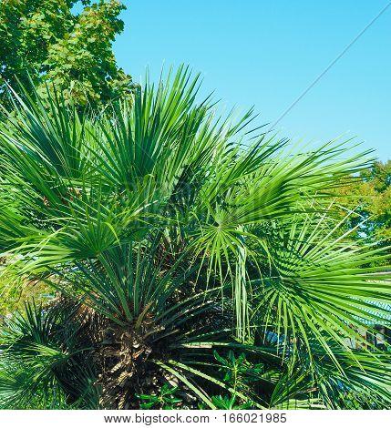 Detail of Palm tree (Arecaceae) tree leaves