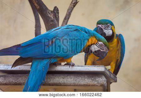Yellow blue macaw birds eating food at a bird sanctuary in India.