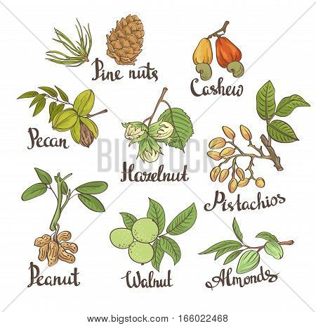 Vector set of hand sketched nuts on white background with leaves in hand drawn style: hazelnut almonds, peanuts, walnut, cashew, pine nut, pistachios, pecan. Botanical vector illustration.