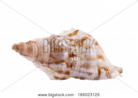 Single sea shell of marine snail horse conch isolated on white background .