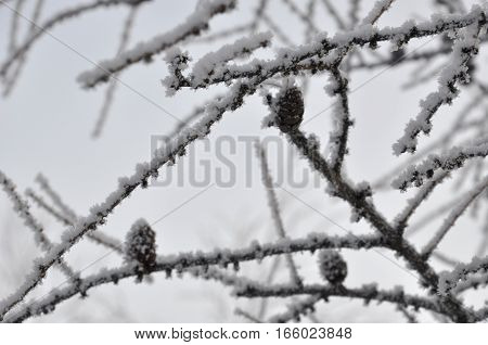 Winter spruce tree with snow on the branches