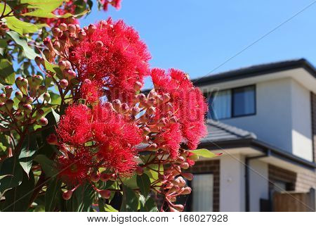 Modern architecture exterior details with red flowering eucalyptus