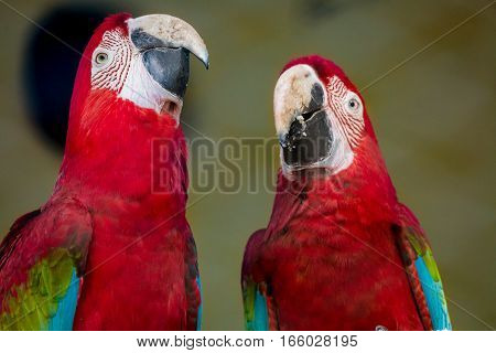 Scarlet macaw birds raise their neck together in a distinct behavioral trait at a bird sanctuary in India.