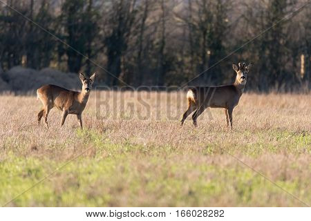 Roe deer (Capreolus capreolus) buck and doe in field. Small elegant deer in family Cervidae male with growing antlers still covered in velvet fur