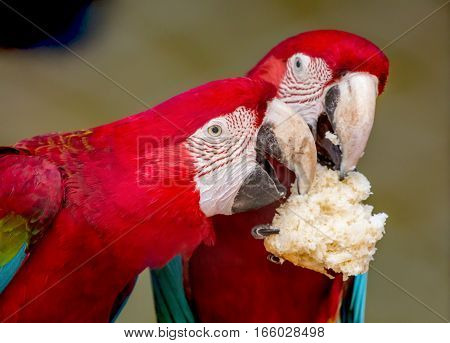 Scarlet macaw birds share a piece of cream loaf at a bird sanctuary in India. A closeup portrait shot.