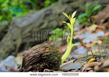 Seedlings are grown from the seeds of the Suicide tree or Pong-pong tree.