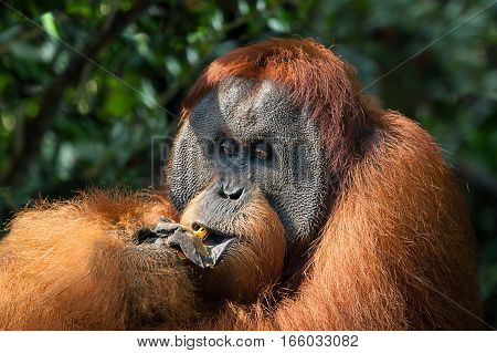dominant male orangutan in the jungles of Sumatra