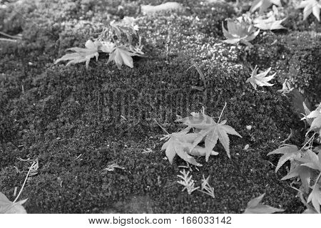 Black and White Fallen maple leave on ground