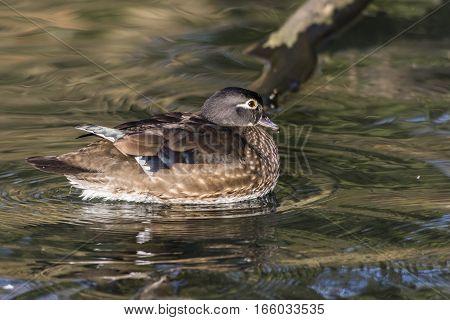 Mandarin Duck (aix Galericulata) On The River Saar In Saarlouis/germany