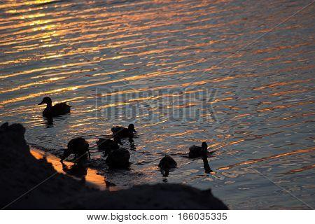 duck swimmimg in the water, orange sunset