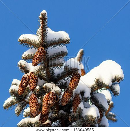 Winter background with pine cones. branch of spruce