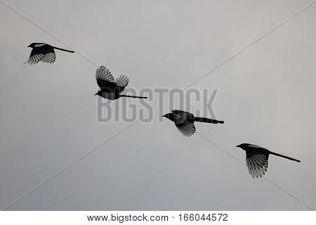 Silhouette shot of flying birds against grey sky
