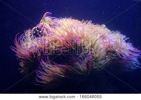Amazing marine animals closeup in aquarium (anemonia actinia anemone)