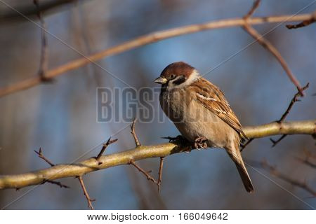 Sparrow On A Branch.
