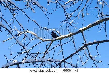 Birds in winter. Bird perched on a tree branch with a blue sky background. Winter background.