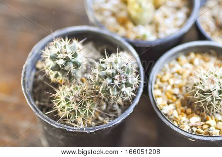 cactus plant in the flower pot , cactus