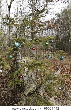 Christmas ornaments hanging from pine tree on trail through forest.