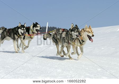 Sportive dogs are running in the snow mountain in winter