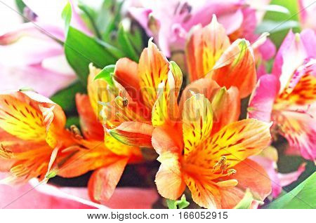 Alstroemeria is a spring flowers. Nature background