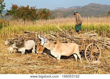 Lake Inle Myanmar - 14 January 2010: farmers with ox carts to harvest sugar cane near Lake Inle on Myanmar
