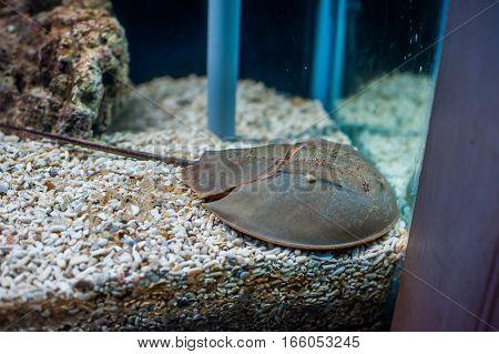 Mangrove Horseshoe Crab. Carcinoscorpius Rotundicauda