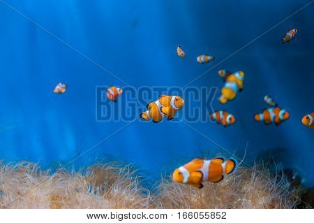 Clown Fish And Anemones On A Blue Background