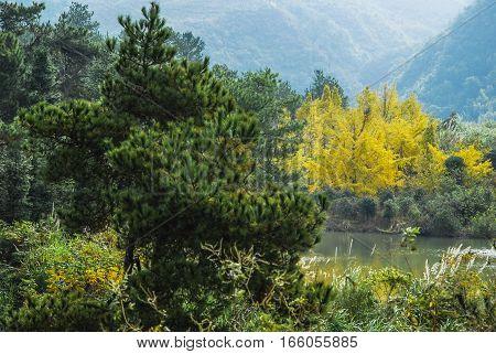 The ginkgo trees scenery in autumn season