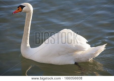 Beautiful White Swan Swimming Crystal Clear Lake Water