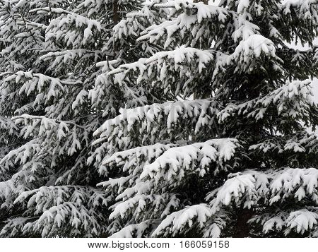 Fir branches covered with snow winter background