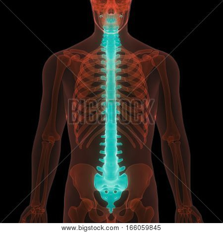 3D Illustration of Spinal cord a Part of Human Skeleton Anatomy
