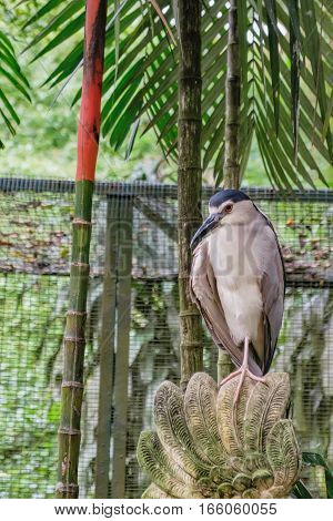 Black-crowned night heron Nycticorax nycticorax in Kuala Lumpur Bird Park, Kuala Lumpur, Malaysia.