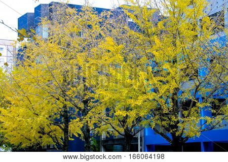 ginkgo tree with yellow leaves (Ginkgo biloba) in autumnJAPAN