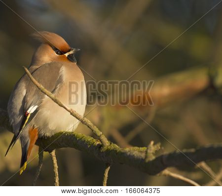 Bohemian waxwing Bombycilla garrulus sitting on a pine branch in Finland.